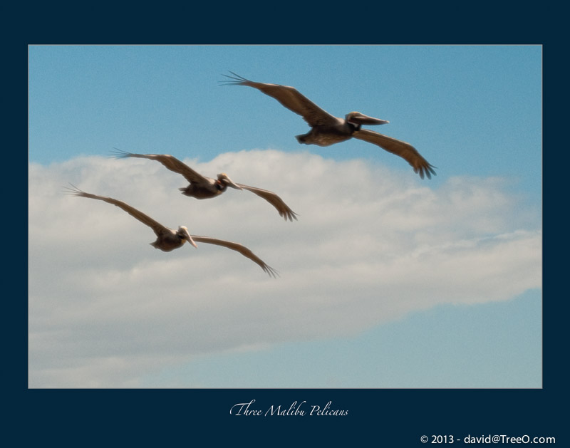Three Malibu Pelicans