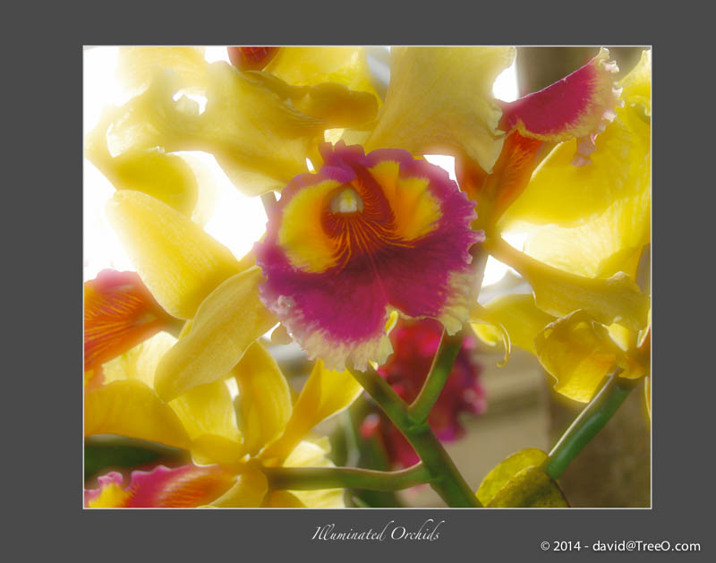 Illuminated Orchids