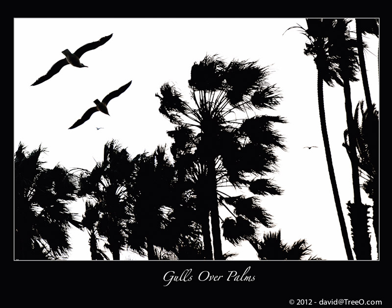 Gulls Over Palms - Santa Monica, California - June 4, 2009