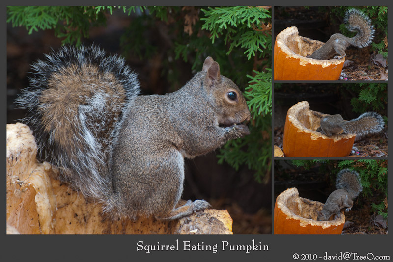 Squirrel Eating Pumpkin - Haddonfield, New Jersey - November 6, 2010