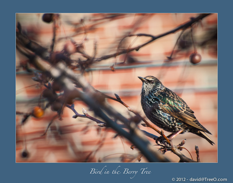 Bird in the Berry Tree - South Philly, Pensylvania - December 2, 2010