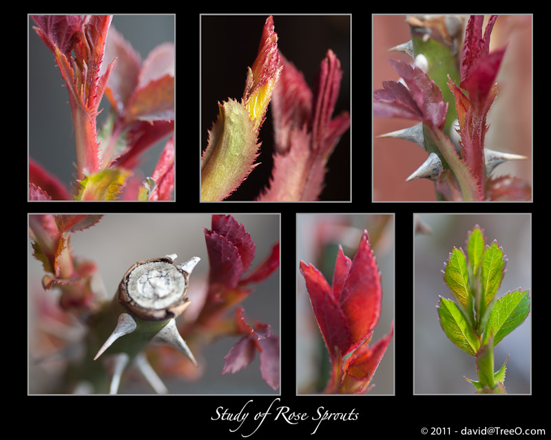 Spring Study of Rose Sprouts - Backyard, Philadelphia, Pennsylvania - March 24, 2011