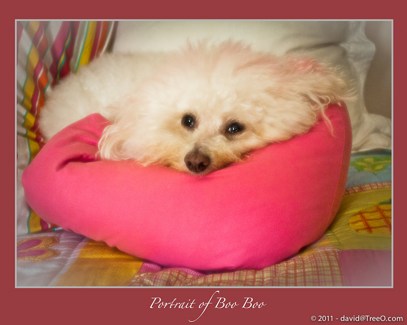 Portrait of Boo Boo, a Bichon Frise - Santa Monica, California - April 1, 2009