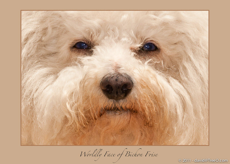 Worldly Face of Bichon Frise - Booboo, Terry Moore's friend - Santa Monica, California - May 11, 2009
