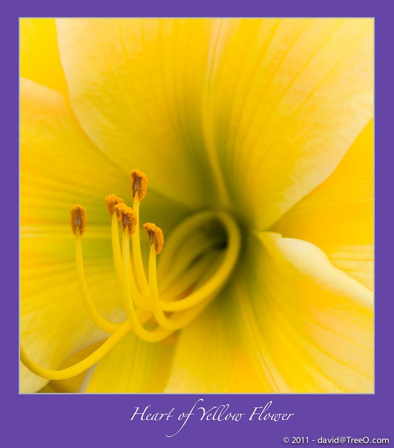 Heart of Yellow Flower - Coronado Island, San Diego, California - August 2, 2010