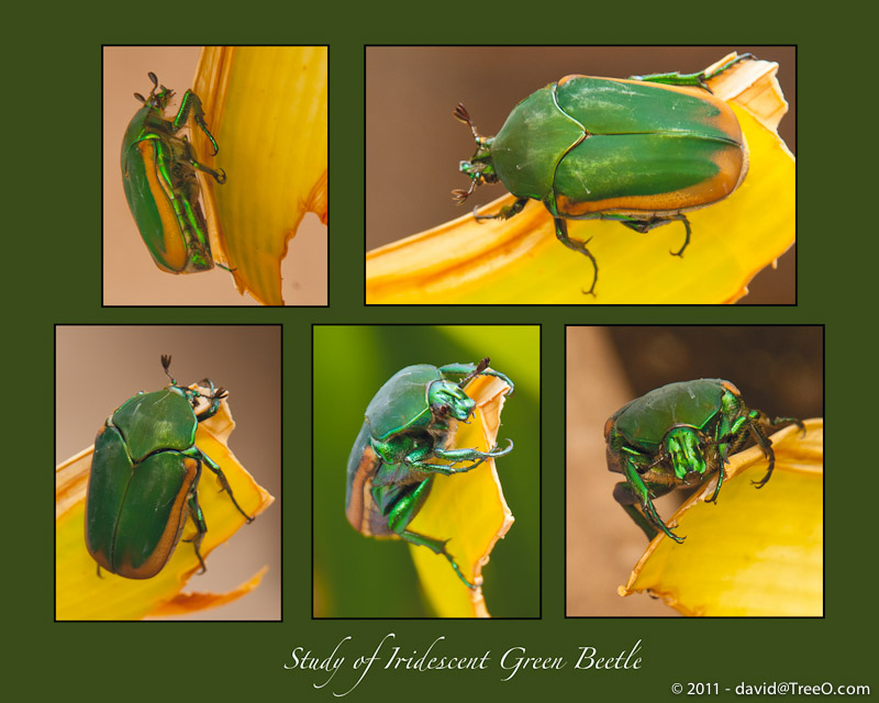 Study of Iridescent Green Beetle - Coronado Island, San Diego, California - September 8, 2010