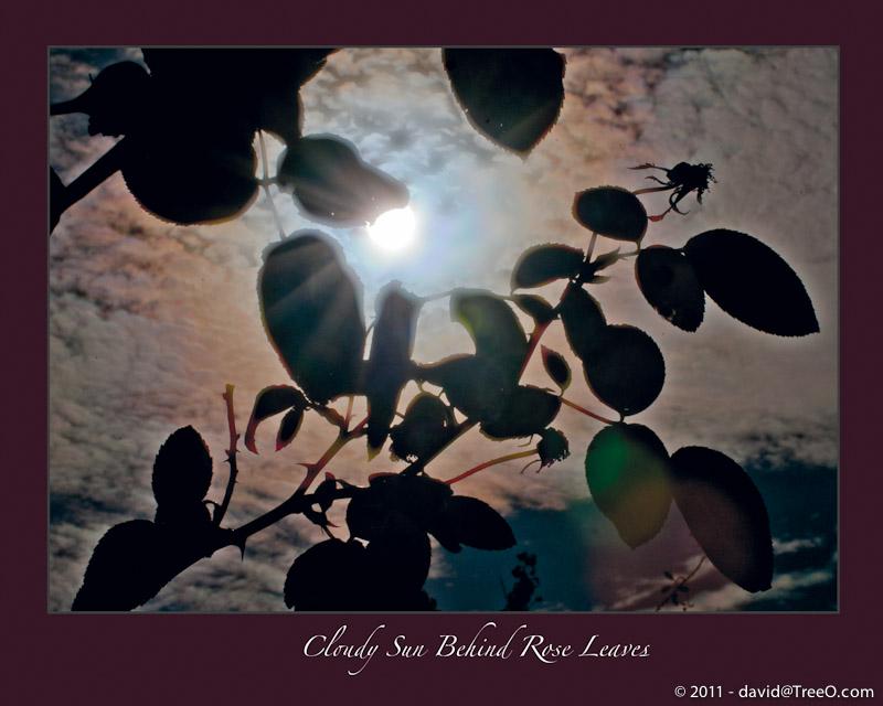 Cloudy Sun Behind Rose Leaves - South Philadelphia, Pennsylvania - November 7, 2010