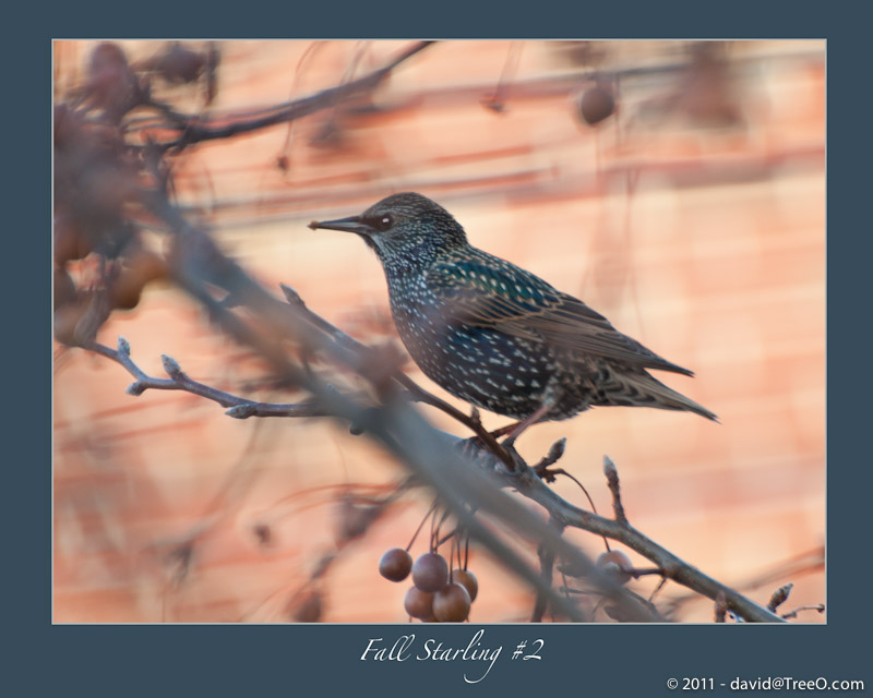 Fall Starling #2 - South Philadelphia, Pennsylvania - November 28, 2010