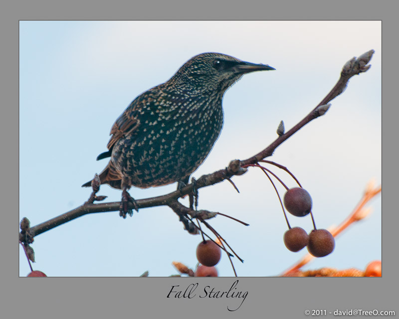 Fall Starling - South Philadelphia, Pennsylvania - November 28, 2010