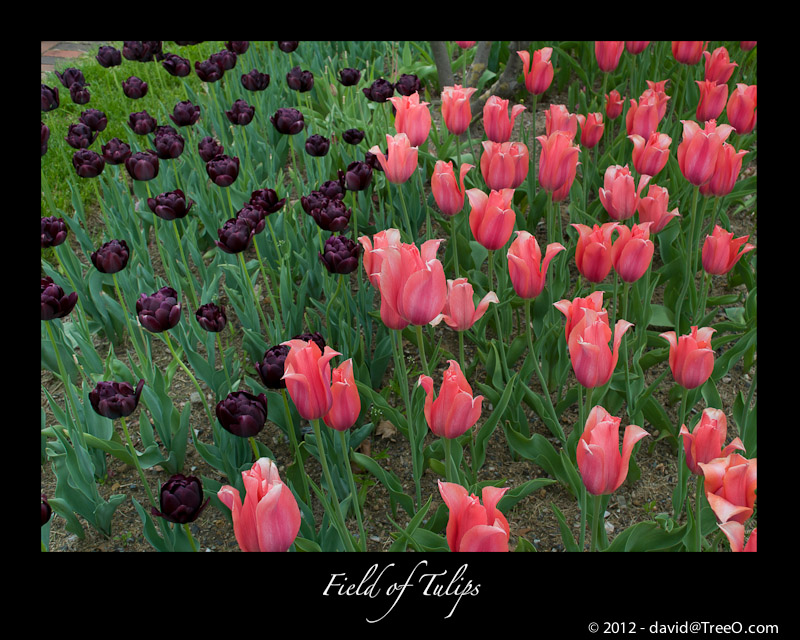 Field of Tulips - Peddler's Village, Pennsylvania - May 3, 2008