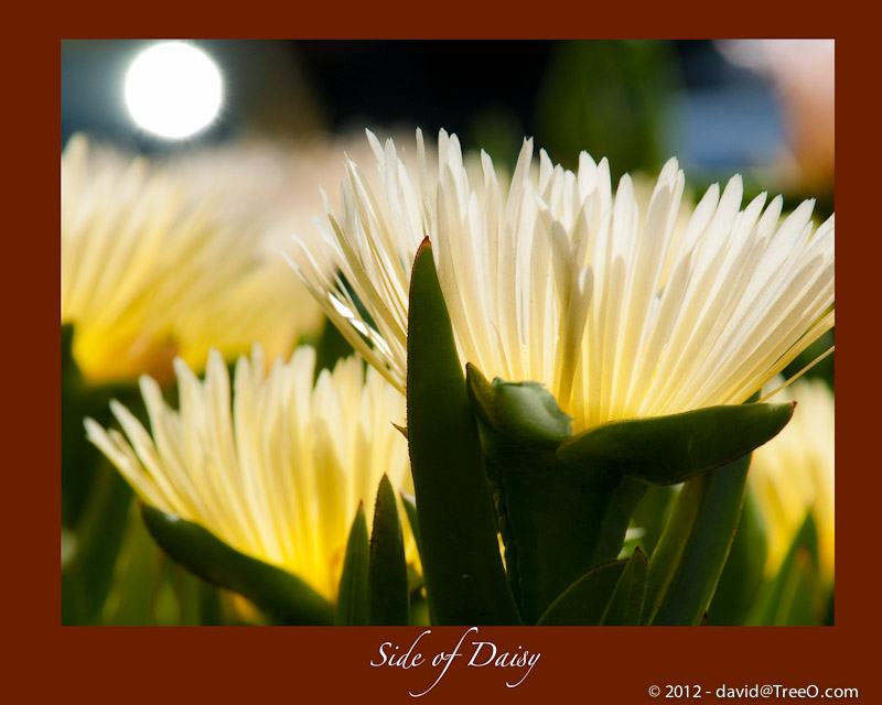 Side of Daisy - Solana Beach, San Diego, California - April 19, 2009