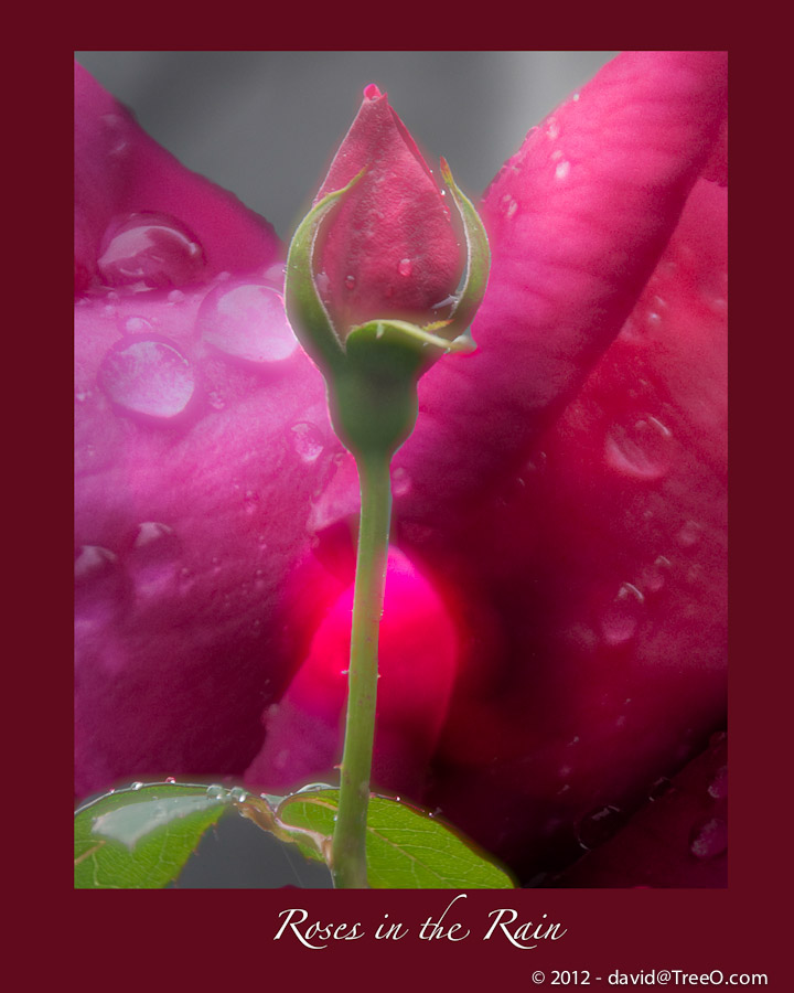 Roses in the Rain - Composite, my backyard, Philadelphia, Pennsylvania - May 3, 2010