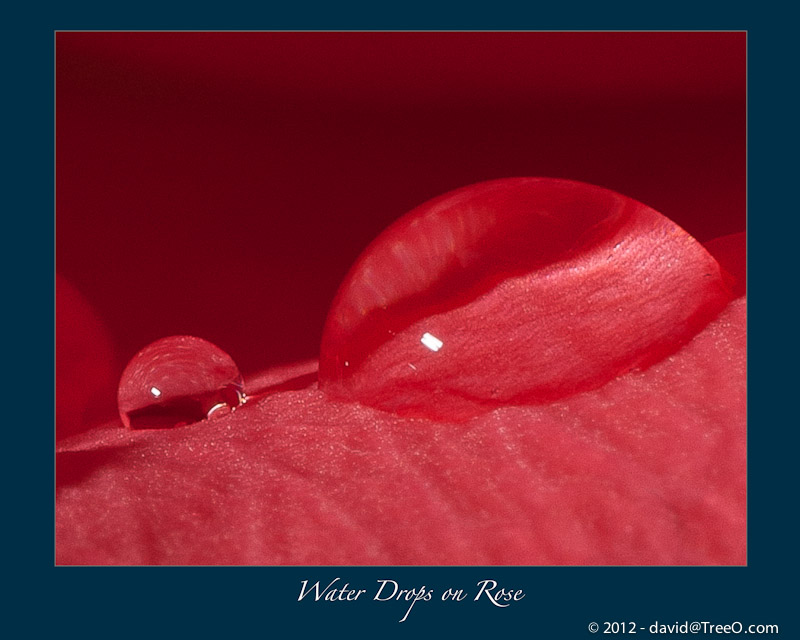 Water Drops on Rose - South Philadelphia, Pennsylvania - March 6, 2011