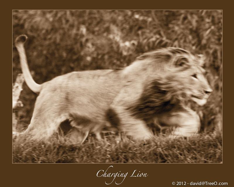 Charging Lion - San Diego Wild Animal Park, San Diego, California - August 6, 2009