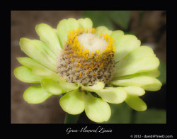 Green-Flowered Zinnia