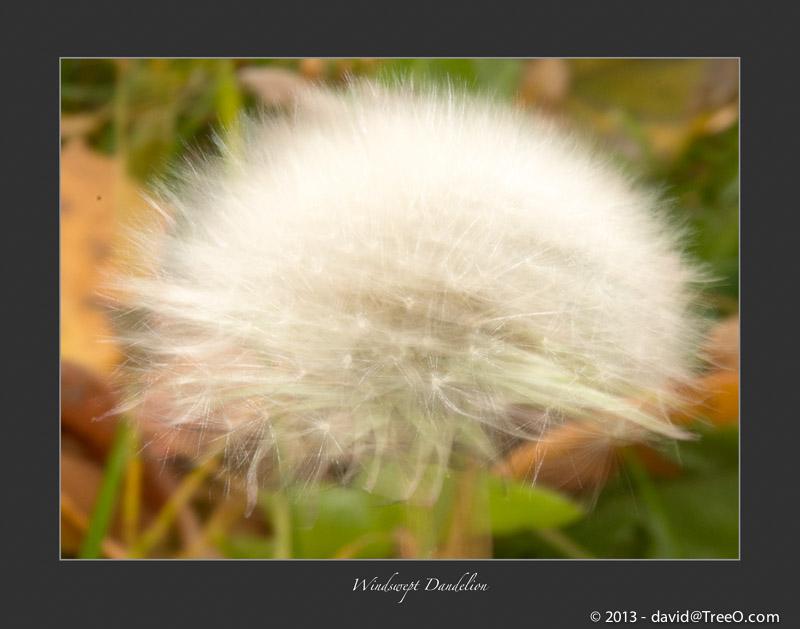 Windswept Dandelion