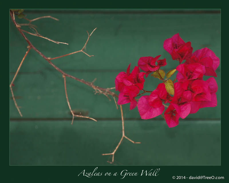 Azaleas on a Green Wall