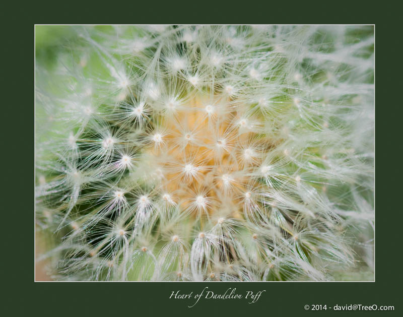 Heart of Dandelion Puff