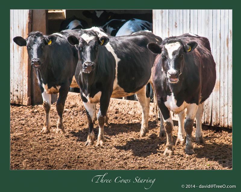Three Cows Staring