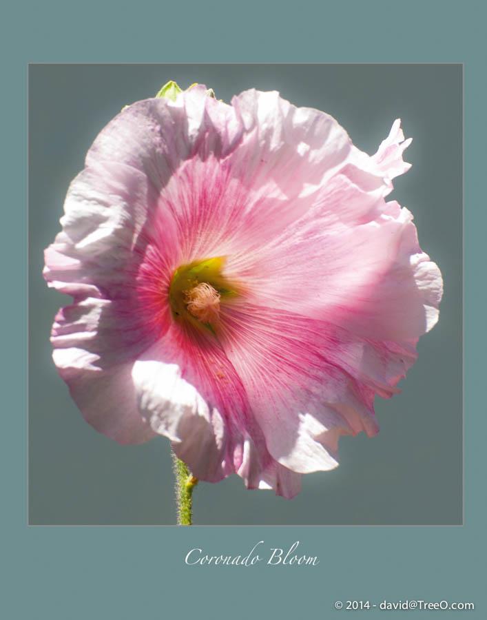 Coronado Bloom