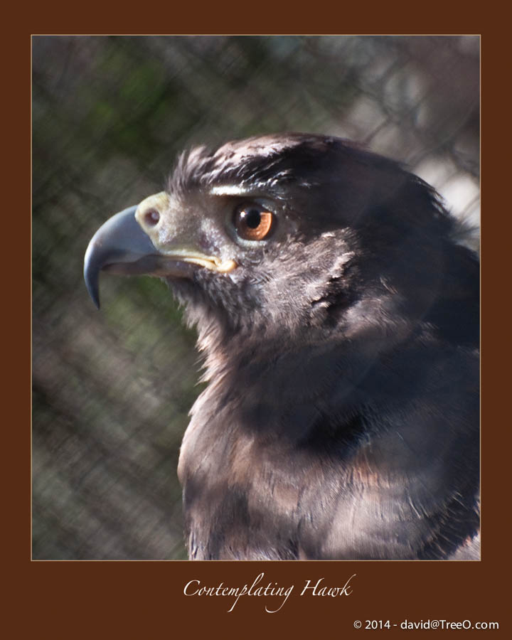 Contemplating Hawk
