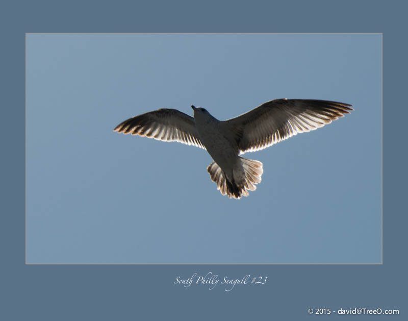 South Philly Seagull #23