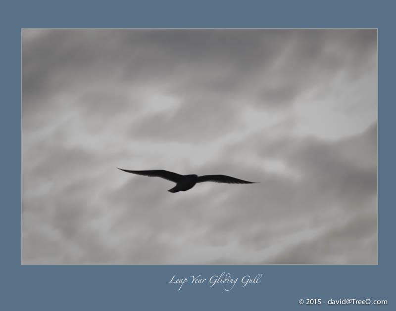 Leap Year Gliding Gull