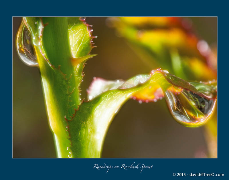Raindrops on Rosebush Sprout