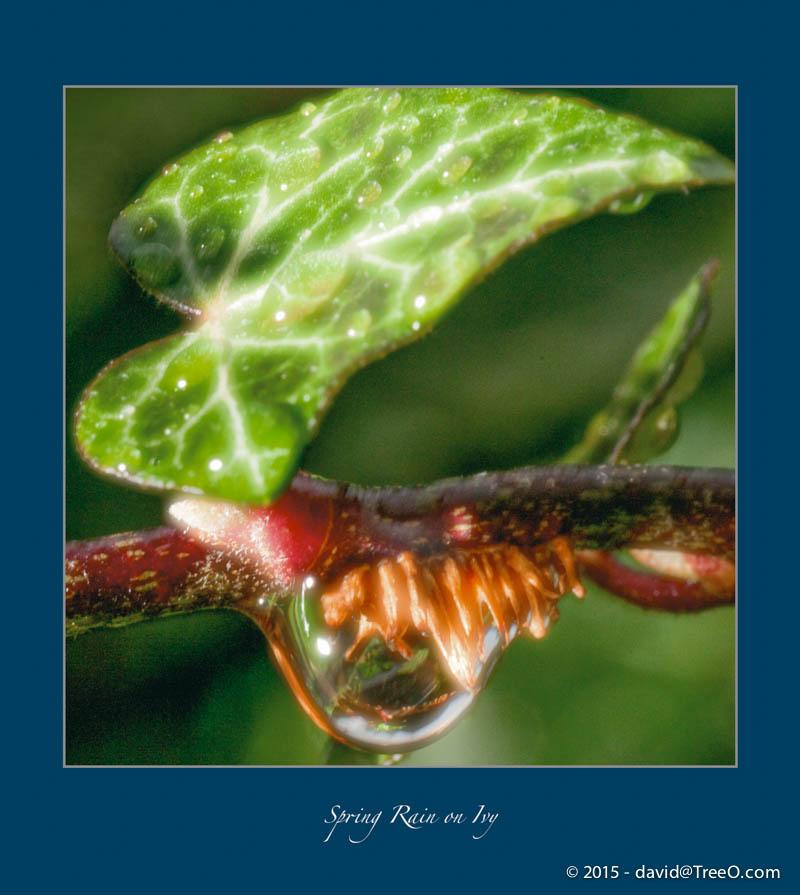 Spring Rain on Ivy