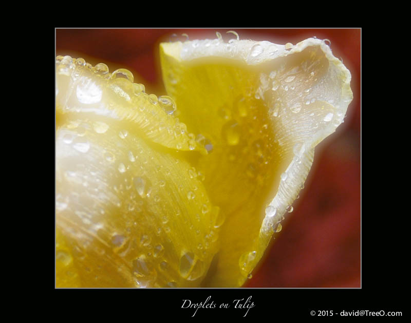 Droplets on Tulip