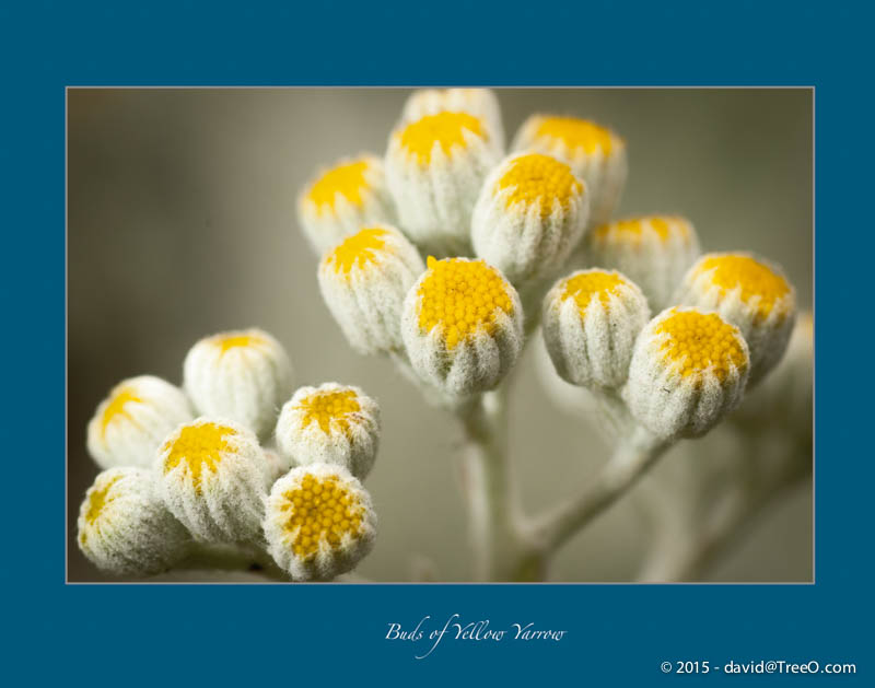 Buds of Yellow Yarrow