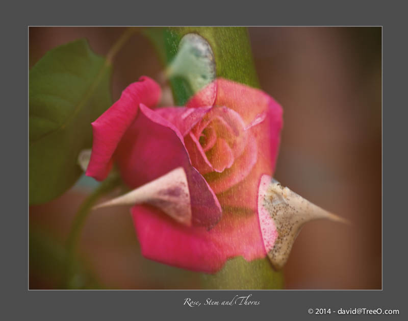 Rose, Stem and Thorns