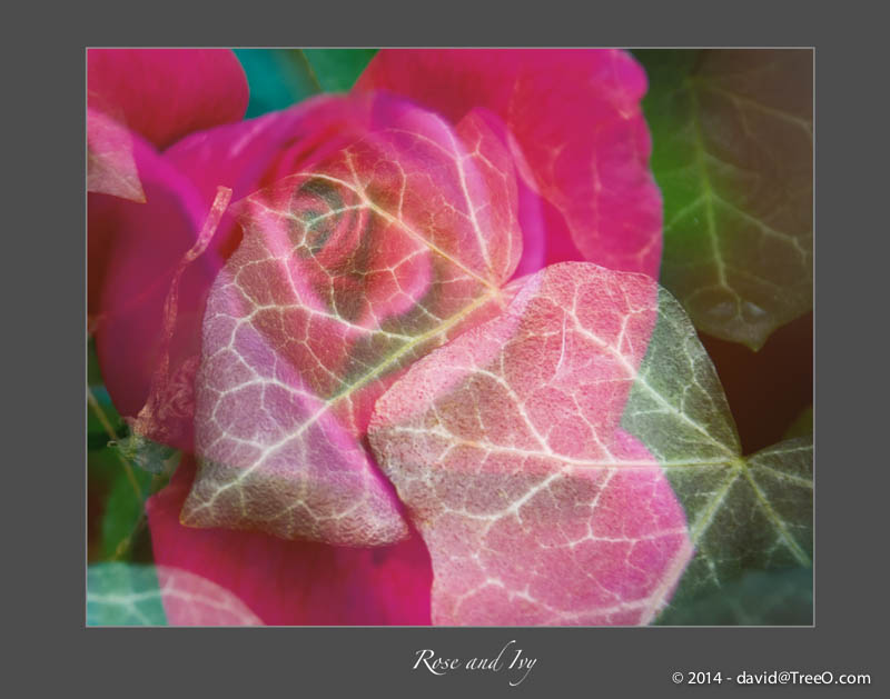 Rose and Ivy