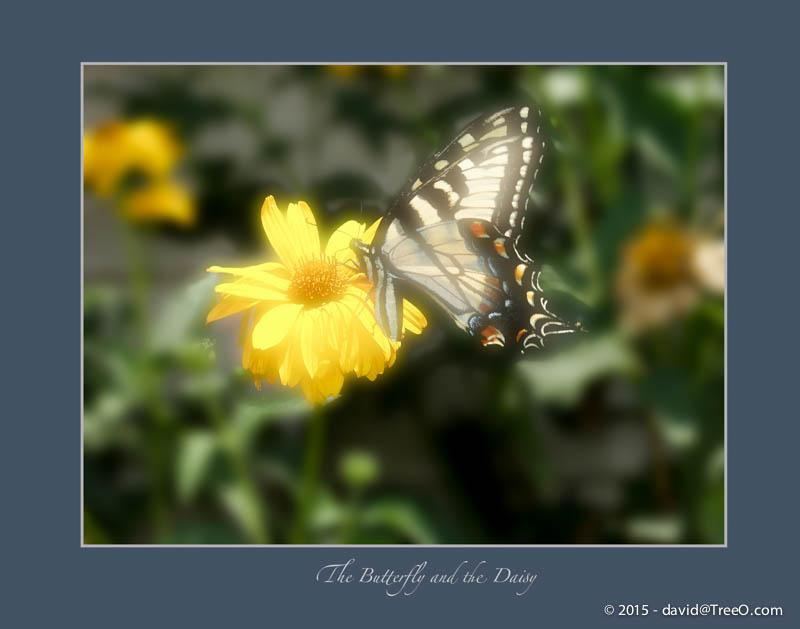 The Butterfly and the Daisy