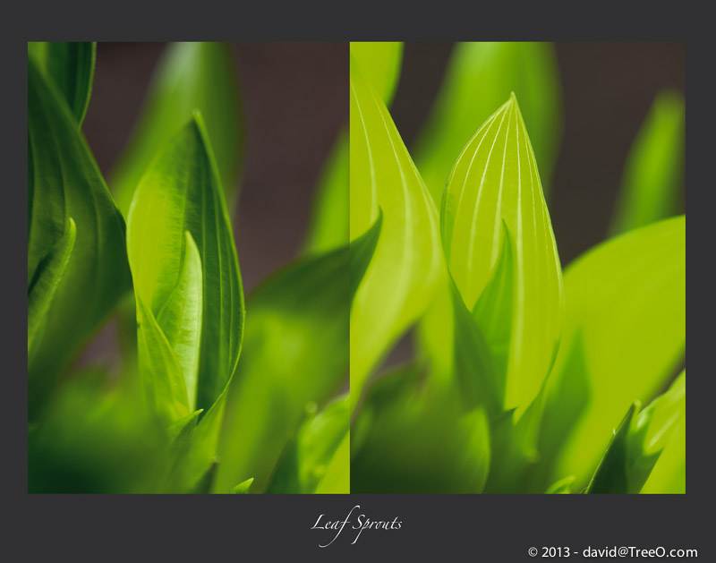 Leaf Sprouts (Hosta)