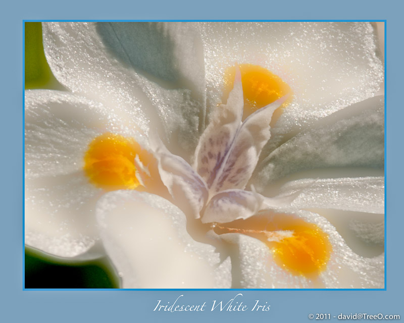 Iridescent White Iris