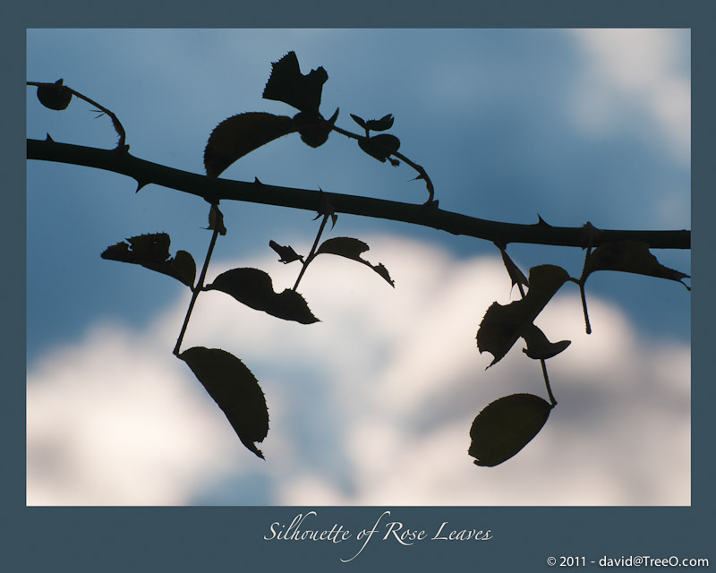Silhouette of Rose Leaves