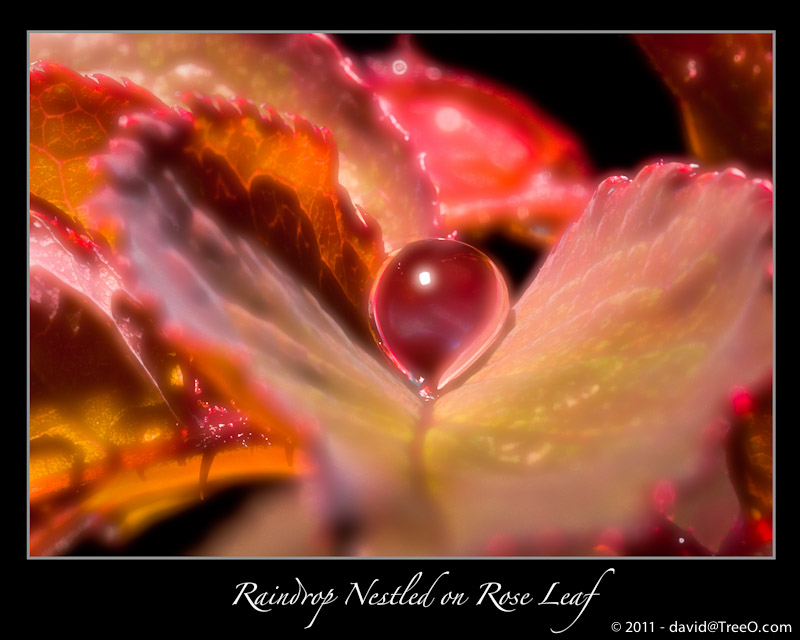 Raindrop Nestled on Rose Leaf