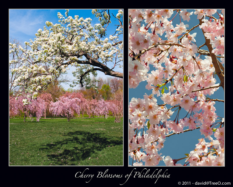 Cherry Blossoms of Philadelphia
