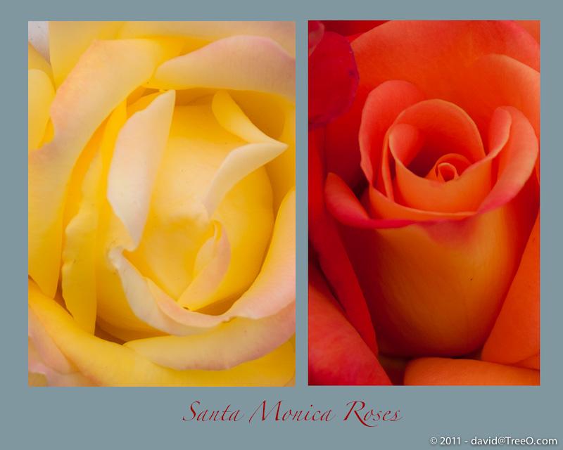 Santa Monica Roses
