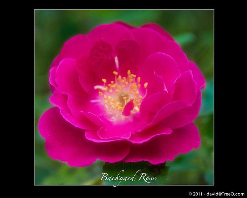 Backyard Rose