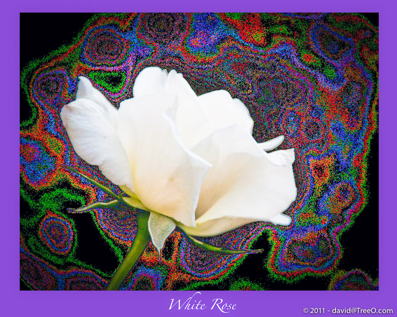 White Rose with Psychodelic Background