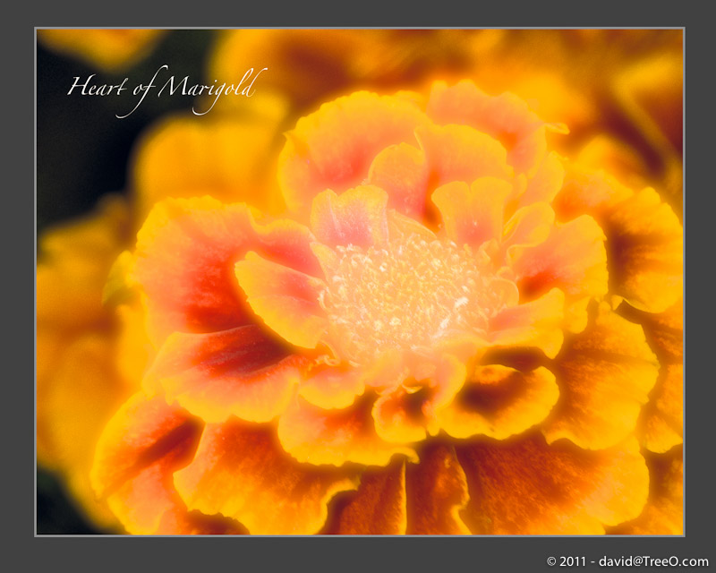 Heart of Marigold