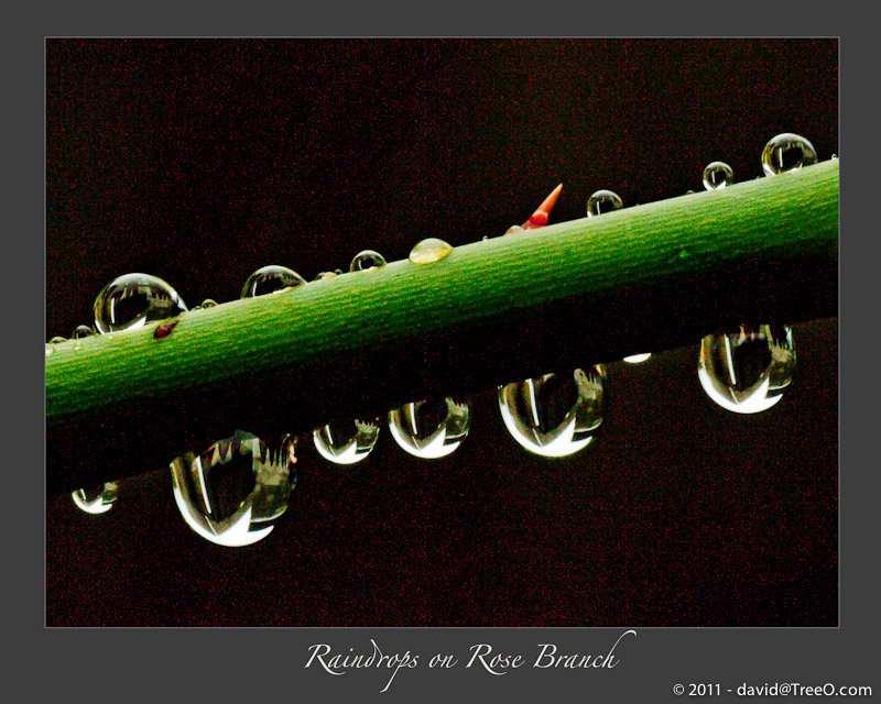 Raindrops on Rose Branch - Backyard, South Philadelphia, Pennsylvania - November 4, 2010