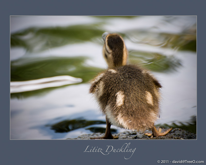 Lititz Duckling