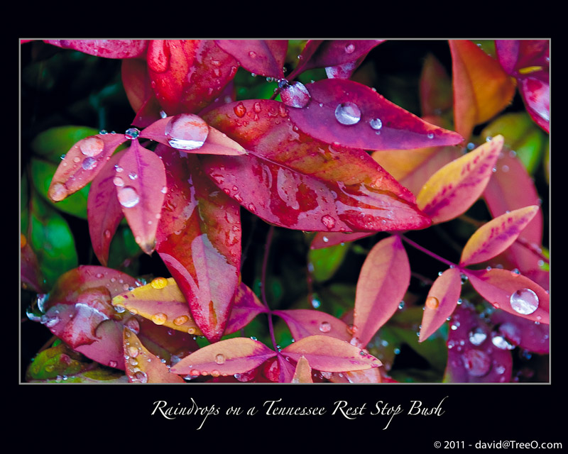 Raindrops on a Tennessee Rest Stop Bush