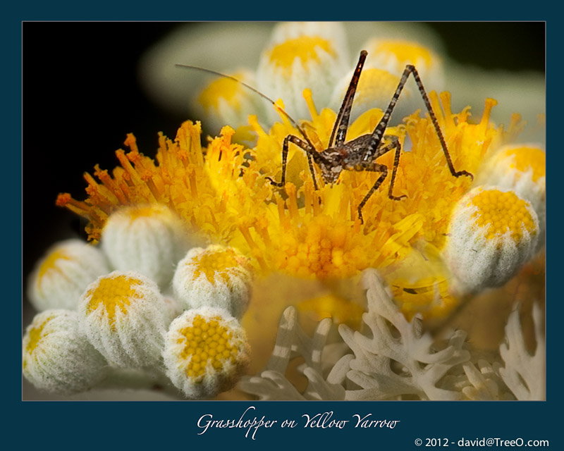 Grasshopper on Yellow Yarrow