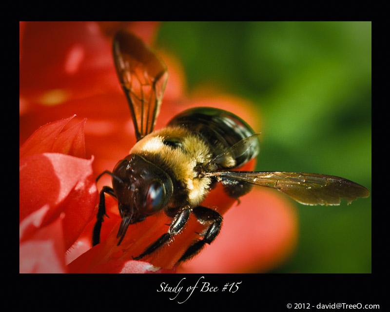 Study of Bee #15