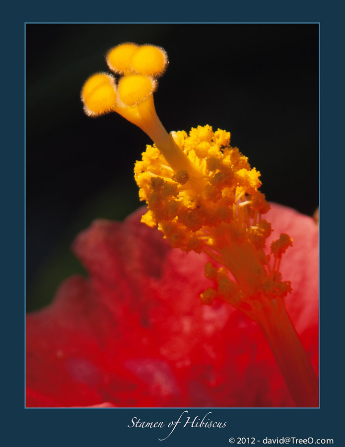 Stamen of Hibiscus