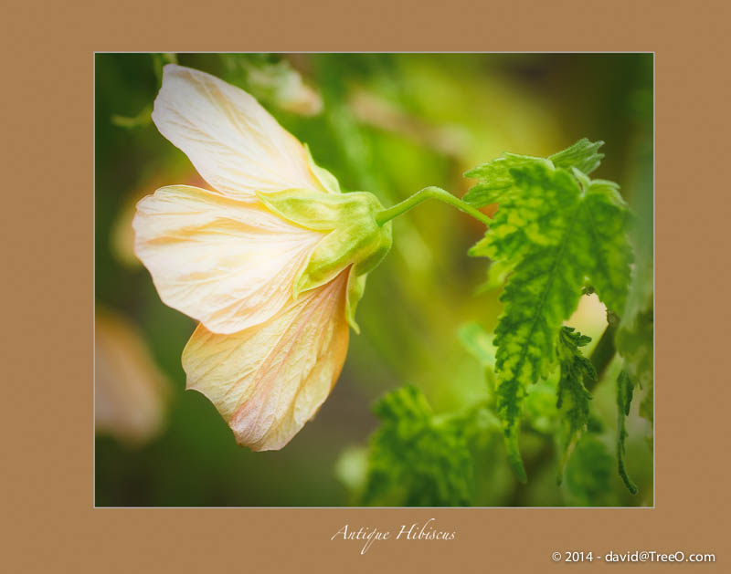 Antique Hibiscus